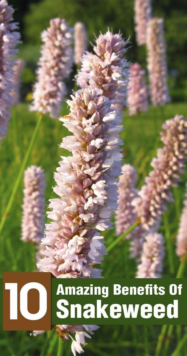 10 Amazing Vorteile von snakeweed für Haut, Haare und Gesundheit