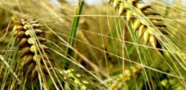10 Großer Nutzen für die Gesundheit von Gerste müssen Sie wissen