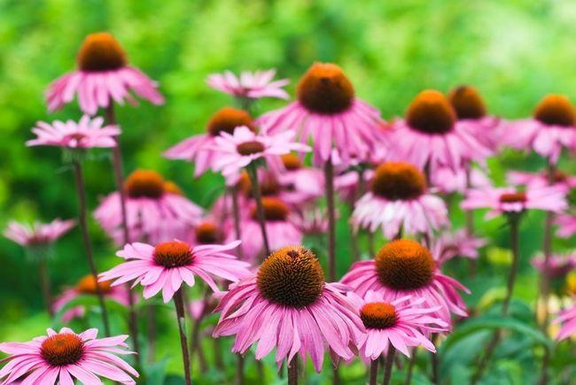 10 Gründe, Sonnenhut sollte in jedem Garten wachsen