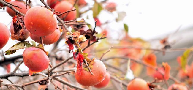 14 Erstaunliche gesundheitliche Vorteile von Persimmon (tendu)