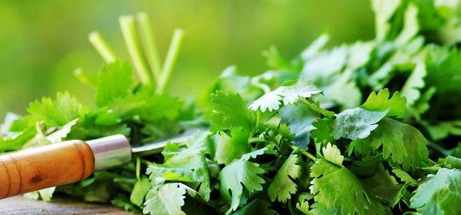 20 Top Vorteile von Cilantro (dhaniya) für Haut, Haare und Gesundheit