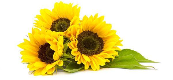 20 Top Vorteile von Sonnenblumenöl (surajmukhi tel) für Haut, Haare und Gesundheit