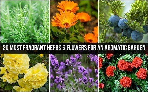 20 Die meisten duftenden Kräutern und Blumen für einen aromatischen Garten