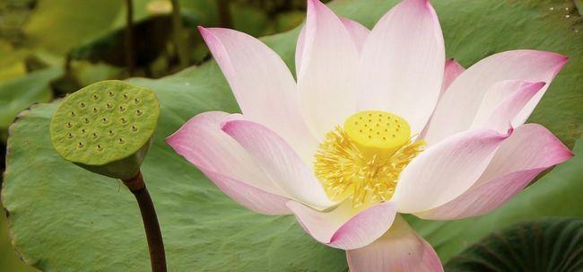 23 Erstaunliche Vorteile von Lotus (Nelumbo nucifera) für Haut, Haare und Gesundheit
