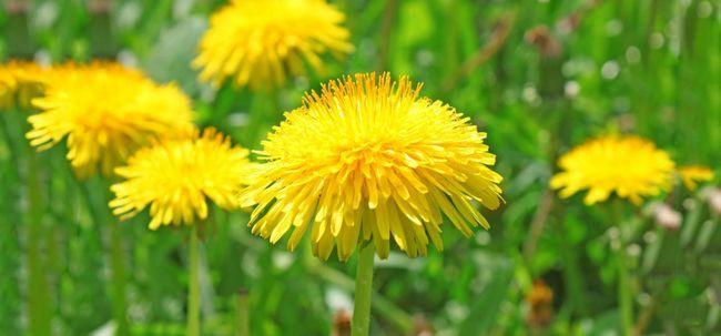 28 Erstaunliche Vorteile von Löwenzahn (Dudal) für Haut, Haare und Gesundheit