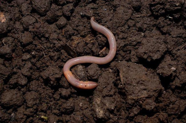 3 Gründe, die Sie benötigen Regenwürmer in Ihrem Garten und wie sie gewinnen