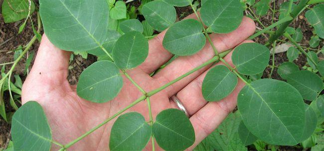 30 Erstaunliche Vorteile von Moringa Pflanze (sahijan) für Haut, Haare und Gesundheit