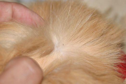 Wie wird man auf Katzen von Flöhen zu befreien?