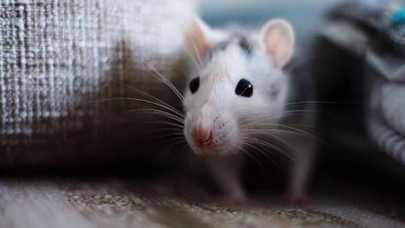 Wie wird man natürlich von Mäusen zu befreien?