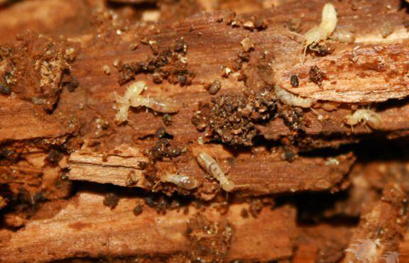Wie Termiten zu töten?