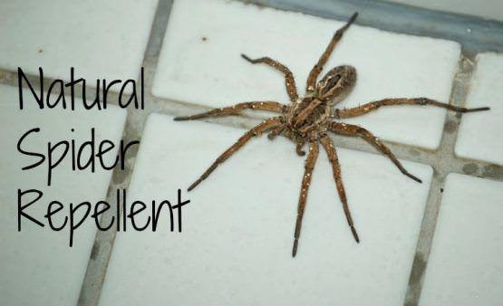 Wie Spinne abweisend zu Hause machen?