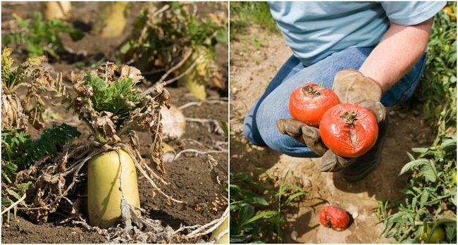 Warum nicht mein Gemüse wächst? 10 Fehler, die Sie in den Gemüsegarten machen